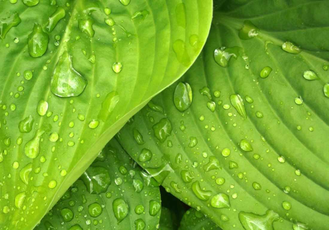 leaves rain green hosta